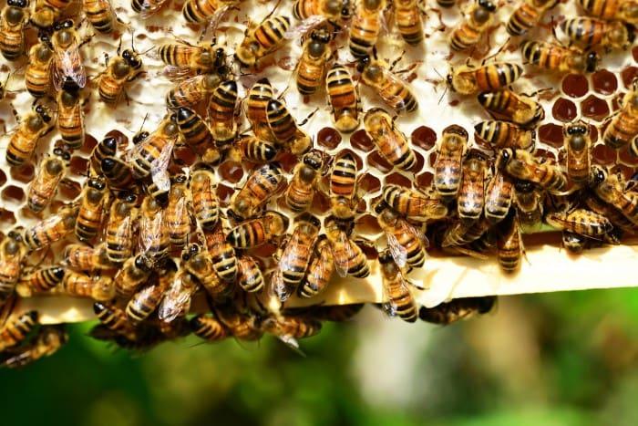 Honey Bees and Fresh Honey